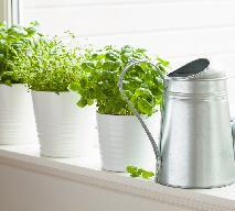 Jak dbać o zioła w doniczkach? Jak często podlewać, jak nawozić?
